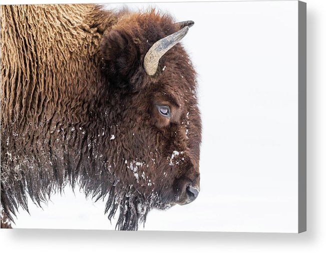 Vertebrate Acrylic Print featuring the photograph Bison In Winter by Kencanning