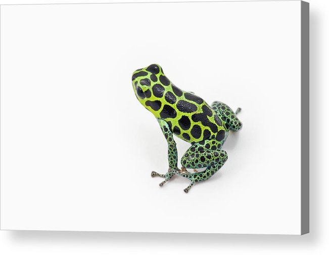 White Background Acrylic Print featuring the photograph Black Spotted Green Poison Dart Frog by Design Pics / Corey Hochachka
