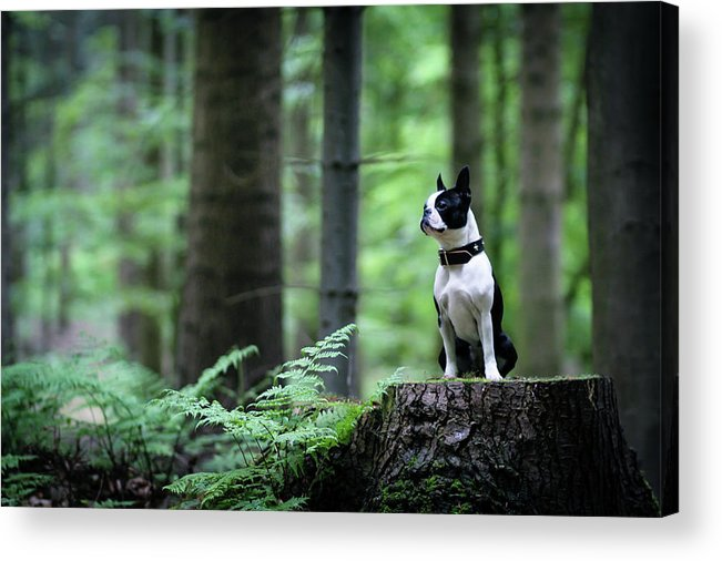 Pets Acrylic Print featuring the photograph Boston Terrier Sitting On A Stub In The by Tereza Jancikova
