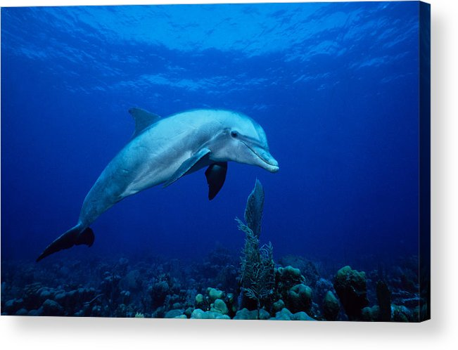 Underwater Acrylic Print featuring the photograph Bottlenose Dolphin,tursiops by Gerard Soury