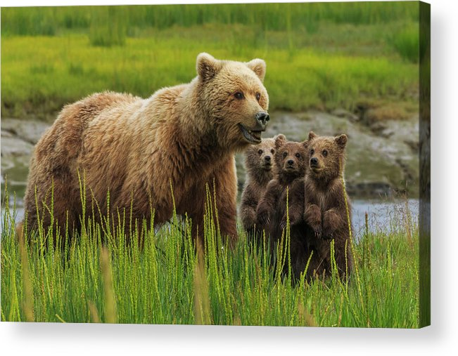 Brown Bear Acrylic Print featuring the photograph Brown Bear Sow And Cubs, In The Long by Mint Images - Art Wolfe