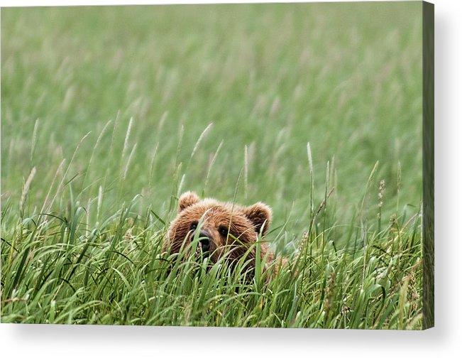 Katmai Peninsula Acrylic Print featuring the photograph Brown Bear by Trevor Johnston / Eye Meets World Photography