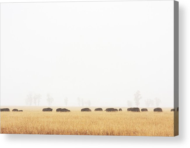 Scenics Acrylic Print featuring the photograph Buffalo Bison Herd Migration Fog by Chuckschugphotography