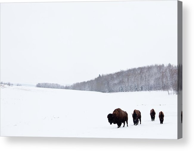 Scenics Acrylic Print featuring the photograph Buffalo Or Bison On The Plains In Winter by Imaginegolf