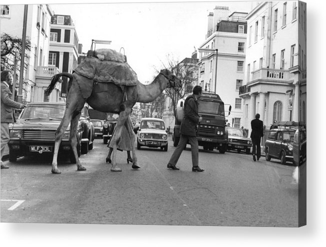 Social Issues Acrylic Print featuring the photograph Camel Crossing by Evening Standard