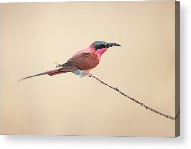 Southern-carmine-bee-eater Acrylic Print featuring the photograph Carmine Bee-eater by Marco Pozzi