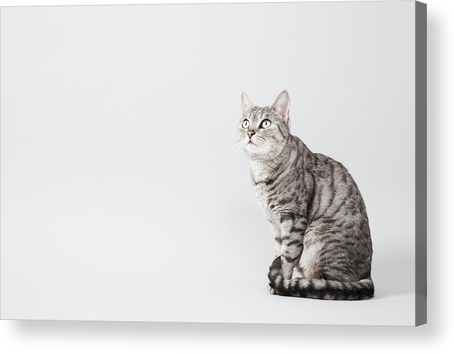 Pets Acrylic Print featuring the photograph Cat Looking Up by Lisa Stirling