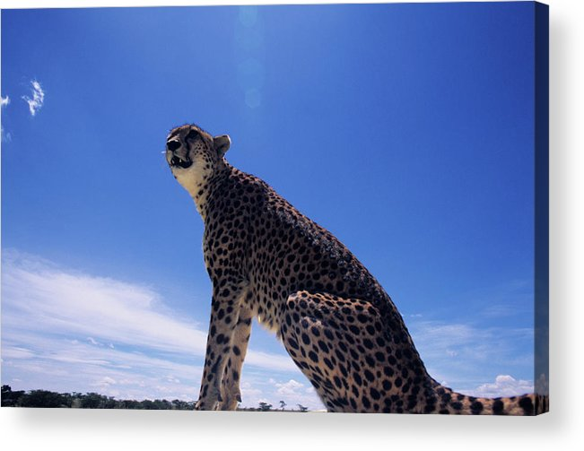Kenya Acrylic Print featuring the photograph Cheetah Acinonyx Jubatus, Against Blue by Anup Shah