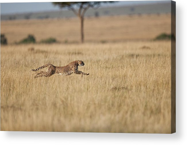 Kenya Acrylic Print featuring the photograph Cheetah Acinonyx Jubatus Female At by Mike Powles