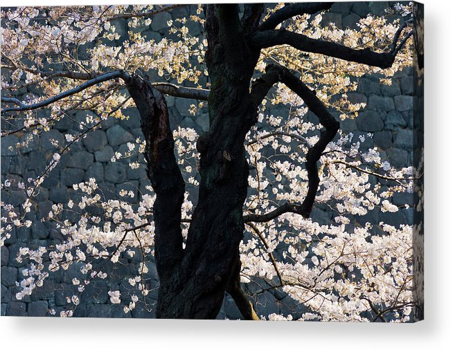 Tranquility Acrylic Print featuring the photograph Cherry Blossoms At The Imperial Palace by B. Tanaka