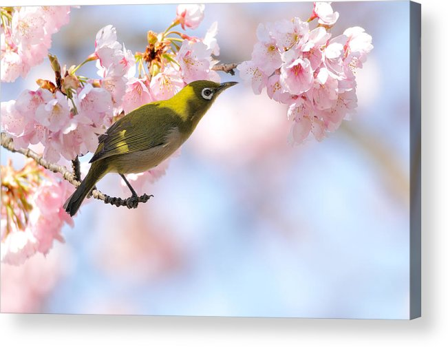 Animal Themes Acrylic Print featuring the photograph Cherry Blossoms by Myu-myu