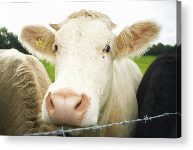 Free Range Acrylic Print featuring the photograph Close Up Of Cows Face by Peter Muller