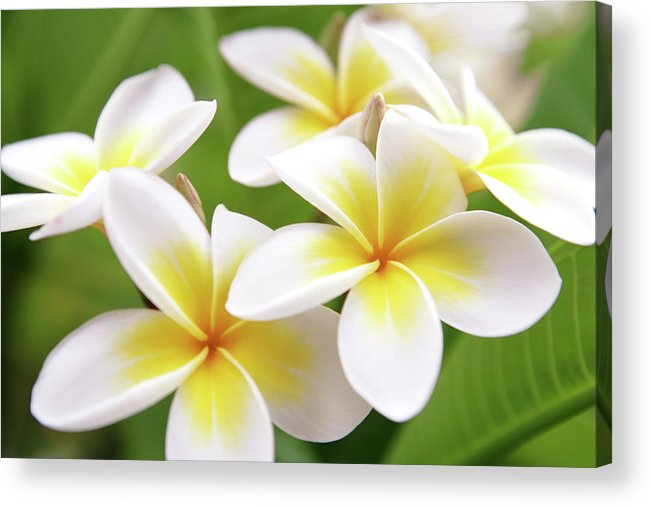 Bunch Acrylic Print featuring the photograph Close Up Of White And Yellow Plumeria by Hidesy