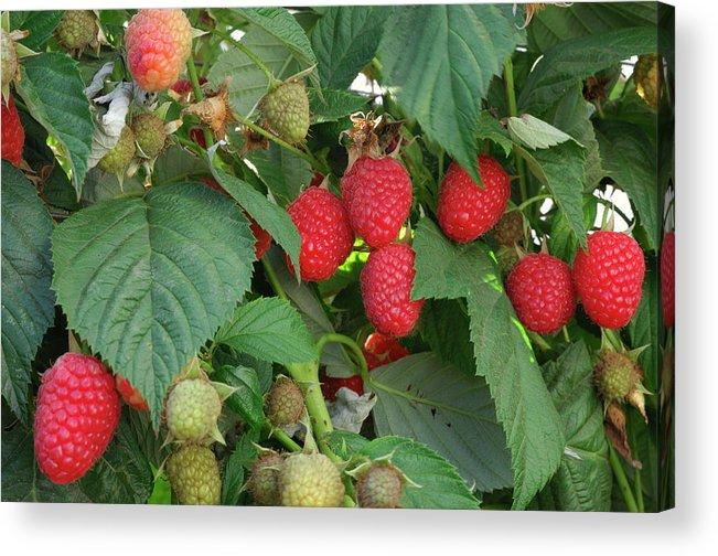 Non-urban Scene Acrylic Print featuring the photograph Close-up Ripening Organic Raspberries by Gomezdavid