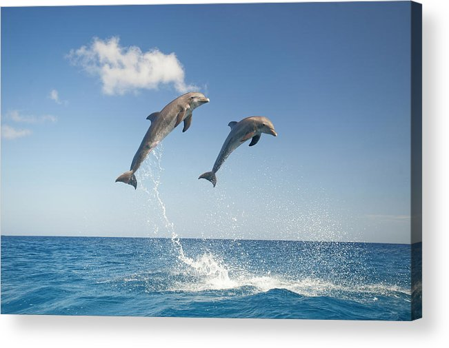 Aerodynamic Acrylic Print featuring the photograph Common Bottlenose Dolphins Tursiops by Mike Hill