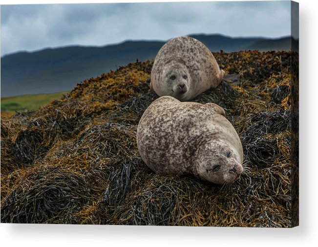 Seaweed Acrylic Print featuring the photograph Common Seals, Loch Dunvegan, Isle Of by Diane Macdonald