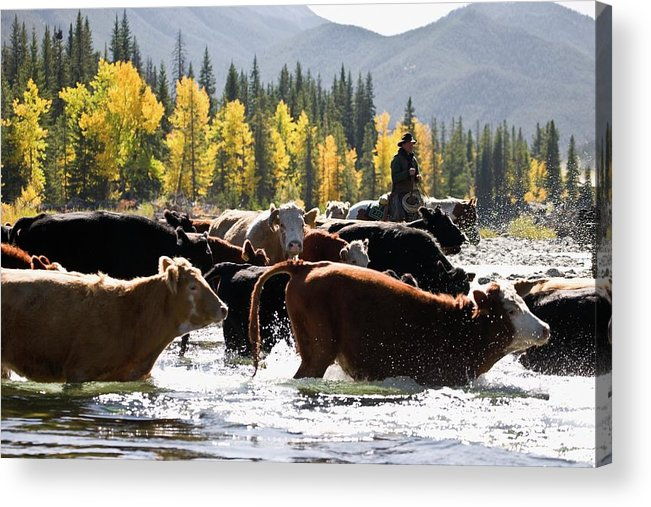 People Acrylic Print featuring the photograph Cowboy Herding Cattle Across River by Design Pics/carson Ganci