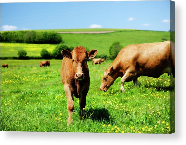 Domestic Animals Acrylic Print featuring the photograph Cows And Buttercups by Lockiecurrie