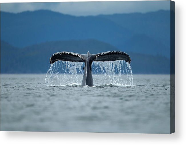 Diving Into Water Acrylic Print featuring the photograph Diving Humpback Whale, Alaska by Paul Souders
