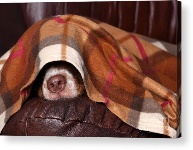 Bed Acrylic Print featuring the photograph Dog Sleeps Under The Blanket by Ivanova N