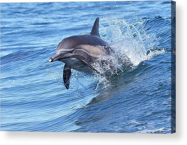 Wake Acrylic Print featuring the photograph Dolphin Riding Wake by Greg Boreham (treklightly)