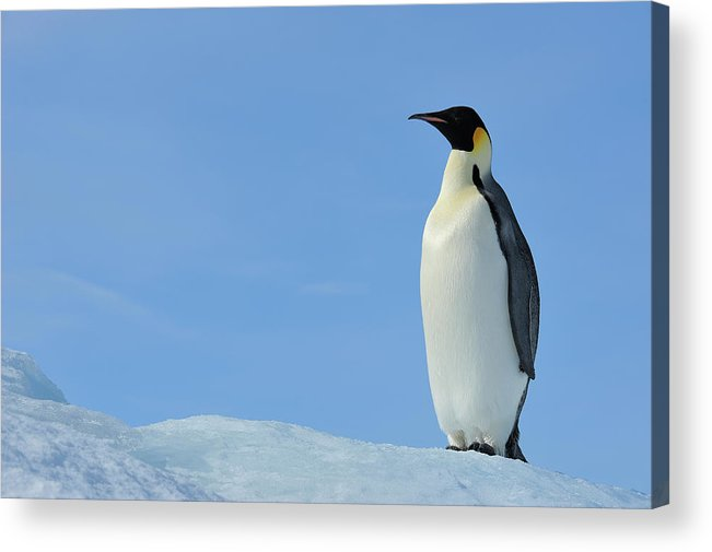 Emperor Penguin Acrylic Print featuring the photograph Emperor Penguin by Raimund Linke