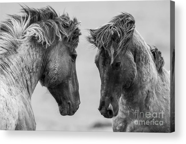 Leader Acrylic Print featuring the photograph Fighting Horse by Inge Jansen