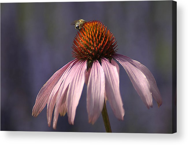 Insect Acrylic Print featuring the photograph Flower And Bee by Bob Van Den Berg Photography
