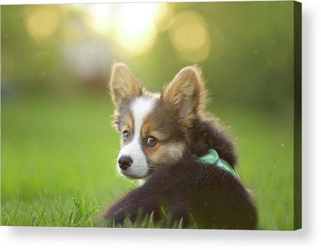 Pets Acrylic Print featuring the photograph Fluffy Corgi Puppy Looks Back by Holly Hildreth