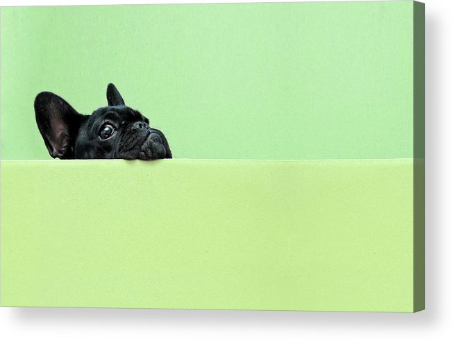 Pets Acrylic Print featuring the photograph French Bulldog Puppy by Retales Botijero
