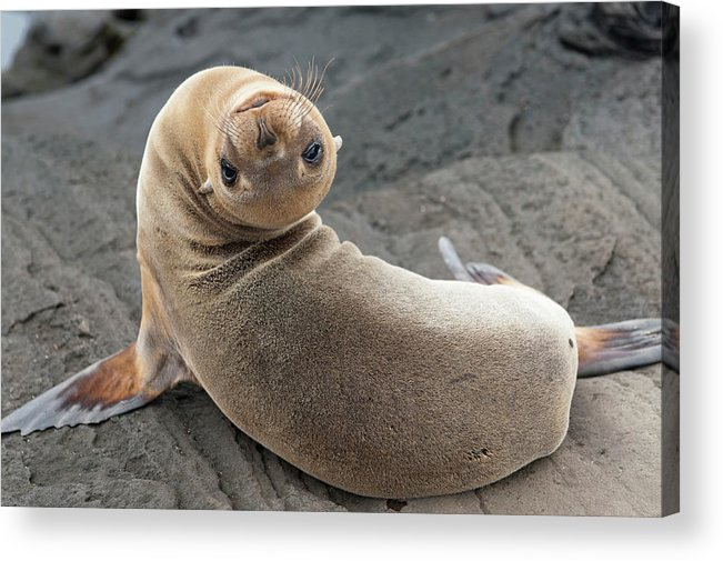 Looking Over Shoulder Acrylic Print featuring the photograph Fur Seal Otariidae Looking Back Upside by Keith Levit / Design Pics
