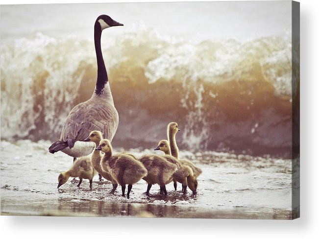 Lake Ontario Acrylic Print featuring the photograph Gaggle by Photogodfrey