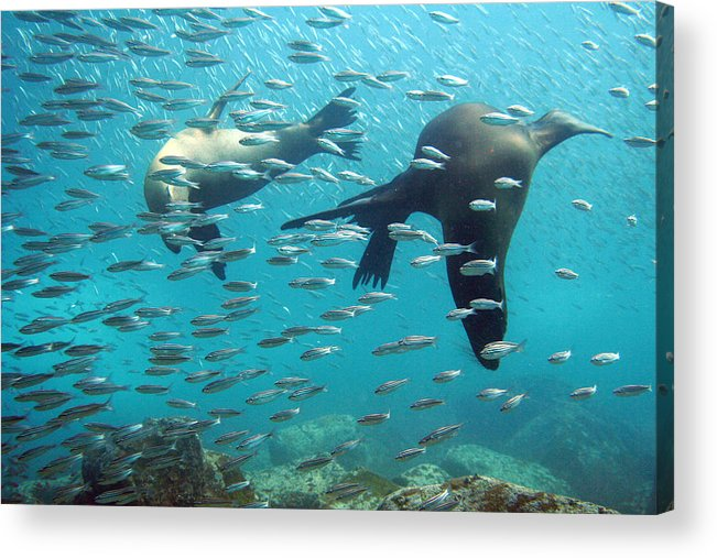 Underwater Acrylic Print featuring the photograph Galapagos Sea Lion by Bettina Lichtenberg