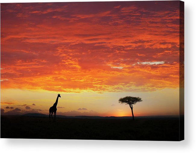 Kenya Acrylic Print featuring the photograph Giraffe And Acacia Tree At Sunset by Buena Vista Images
