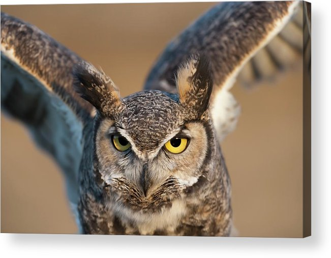 Bird Of Prey Acrylic Print featuring the photograph Great-horned Owl Bubo Virginianus by Design Pics / David Ponton