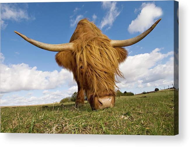 Horned Acrylic Print featuring the photograph Hairy, Horned, Highland Cow Grazing by Clarkandcompany