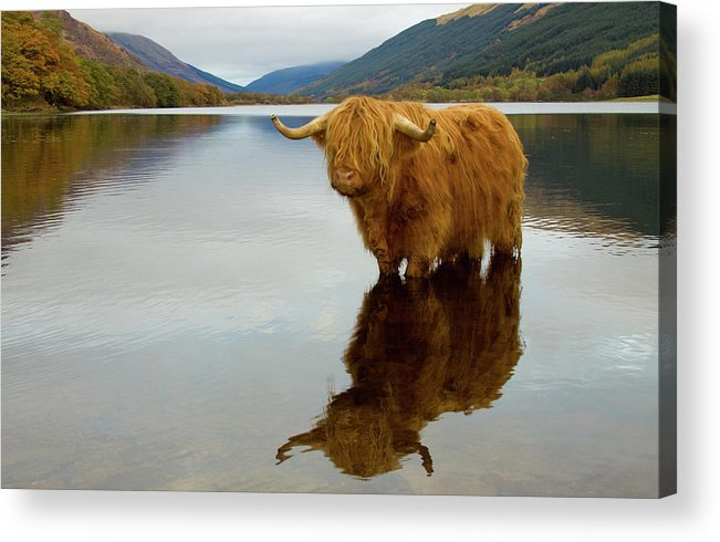 Horned Acrylic Print featuring the photograph Highland Cow by Empato