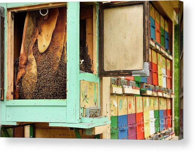 Beekeeping Acrylic Print featuring the photograph Honeycombs In Open Beehive by Education Images, Universal Images Group/science Photo Library