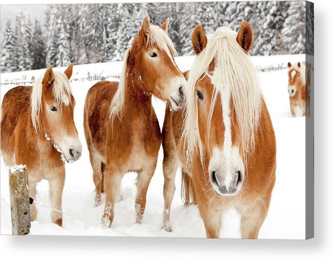 Horse Acrylic Print featuring the photograph Horses In White Winter Landscape by Angiephotos