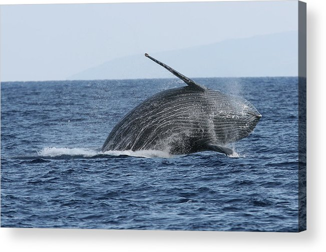 Animal Acrylic Print featuring the photograph Humpback Whale Breach 2 Of 3 by Adwalsh