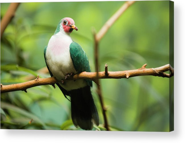Animal Themes Acrylic Print featuring the photograph Jambu Fruit Dove Ptilinopus Jambu by By Ken Ilio