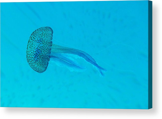 Underwater Acrylic Print featuring the photograph Jellyfish In Wild by Sir Francis Canker Photography