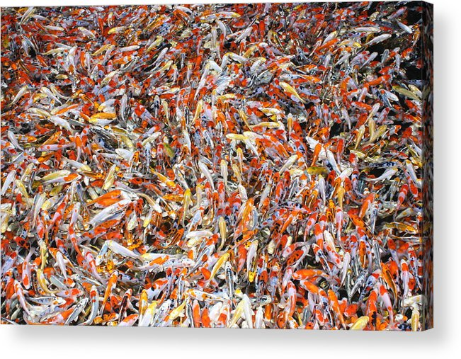 Pets Acrylic Print featuring the photograph Koi Jigsaw by Chris Edwards