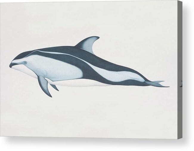 White Background Acrylic Print featuring the digital art Lagenorhynchus Obliquidens, Pacific by Martin Camm