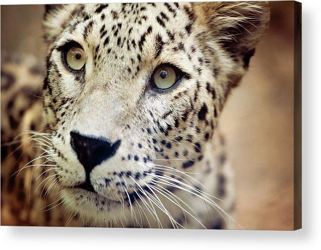 Animal Themes Acrylic Print featuring the photograph Leopard Head by Copyright Anna Nemoy(xaomena)
