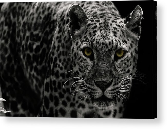 Big Cat Acrylic Print featuring the photograph Leopard by Somak Pal