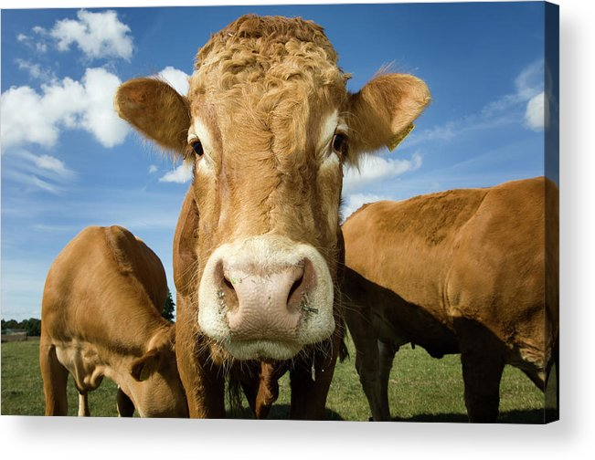 Cow Acrylic Print featuring the photograph Limousin Bull by Clarkandcompany