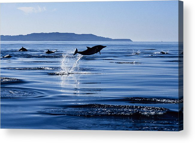 Latin America Acrylic Print featuring the photograph Long-nosed Common Dolphin,delphinus by Gerard Soury