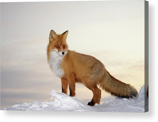 Black Color Acrylic Print featuring the photograph Majestic Fox by Dmitrynd