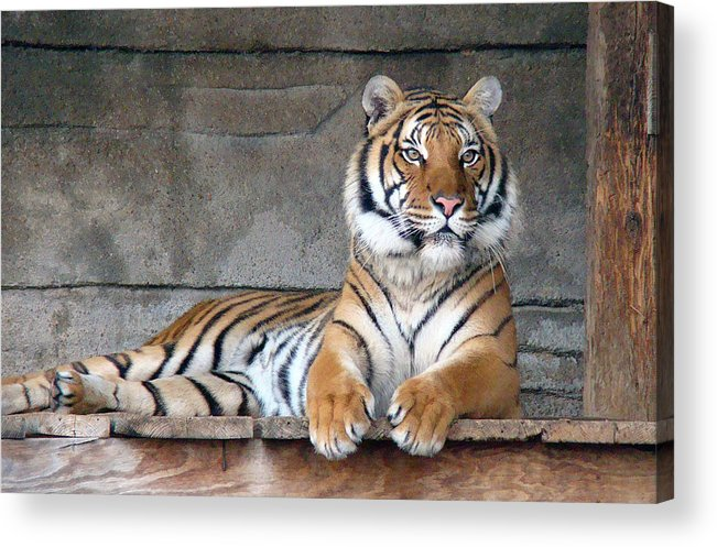 Animal Themes Acrylic Print featuring the photograph Malayan Tiger by Photography By P. Lubas